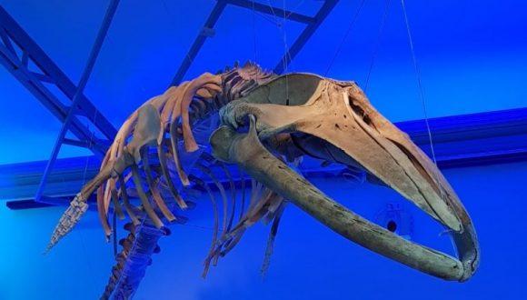[Radio Valparaíso] MHNV inauguró muestra itinerante sobre ballenas