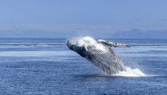 [El Mostrador] Elaboran normativa de navegación para proteger ballenas en aguas chilenas