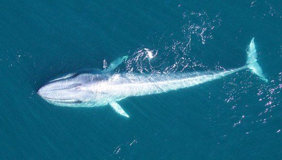 [La Tercera] ¿Viva o muerta? Inédito estudio fija el valor económico de la ballena azul en Chile, el animal más grande del mundo