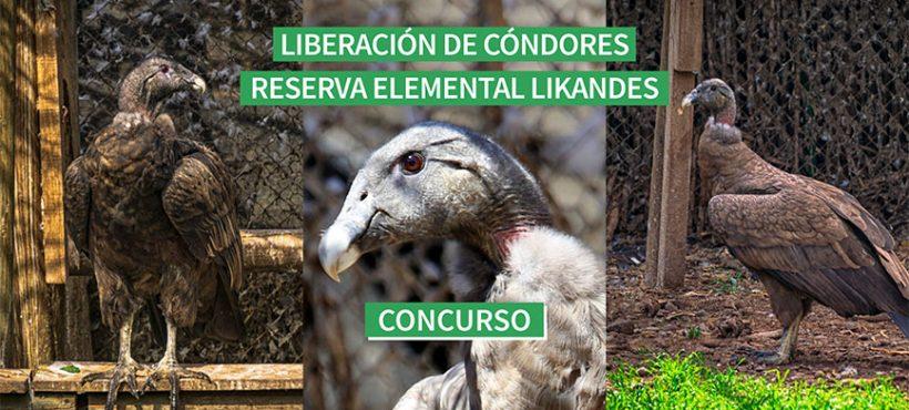 Tres cóndores serán liberados este año desde Reserva Elemental Likandes, y te invitamos a elegir sus nombres