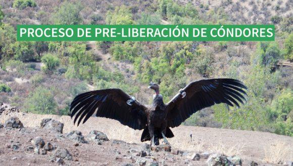 Proceso de Pre-Liberación de Cóndores en Reserva Elemental Likandes