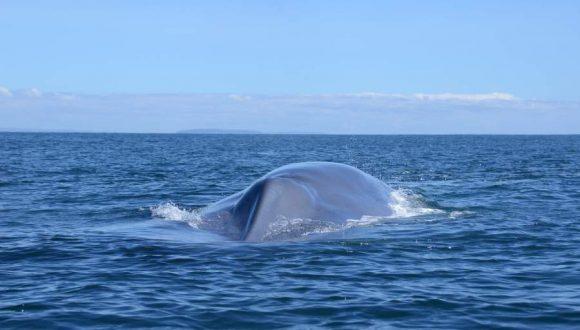 [Cooperativa Podcast] ¿Cuánto vale una ballena azul?