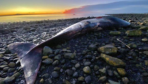 [Sernapesca] Se confirma que ballena azul varada en Chaitén murió por colisión con embarcación