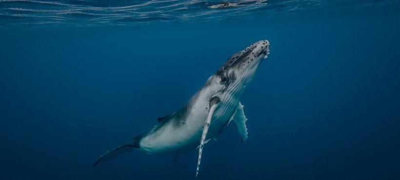 [Emol] Conoce The Blue Boat Initiative: El proyecto científico para proteger a las ballenas